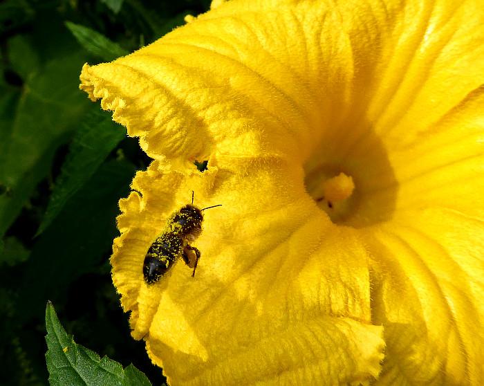 Foto van insect met geel stuifmeel op gele bloem