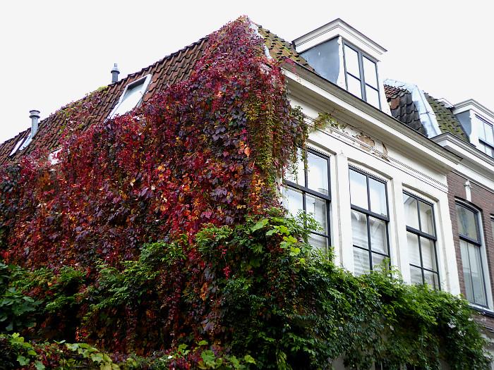 Foto van klimop met herfstkleuren
