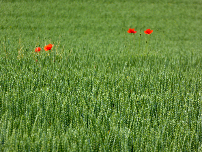 Foto van klaprozen in korenveld