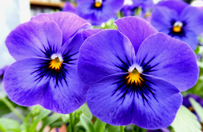 Foto van blauwe viooltjes