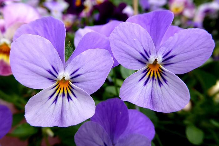 Foto van lila viooltjes
