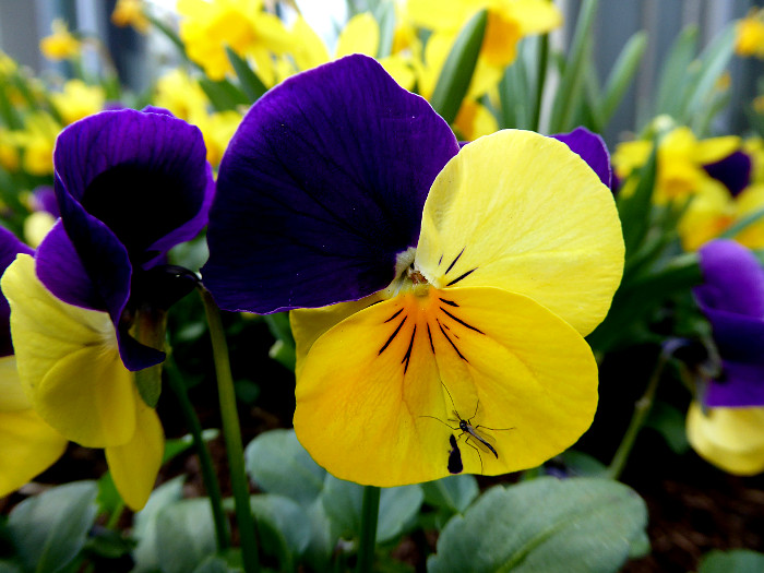 Foto van viooltjes met insect