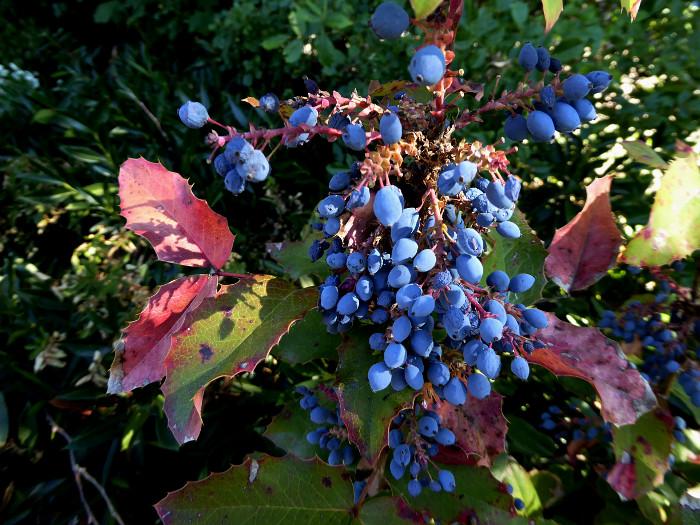 Foto van blauwe vruchtjes
