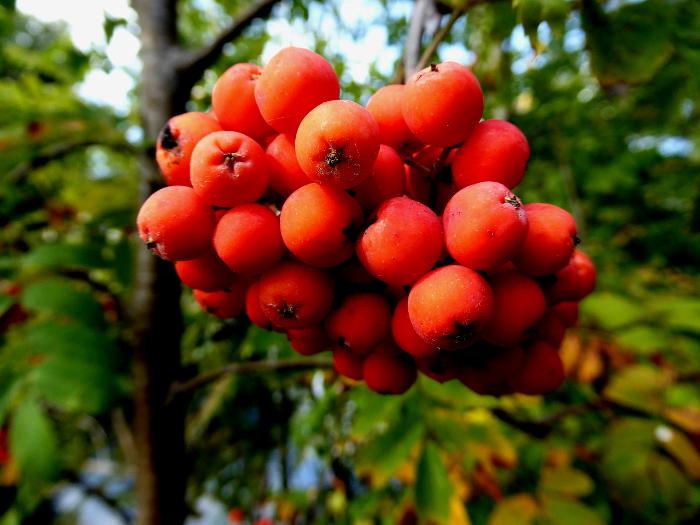 Foto van tros oranje vruchtjes