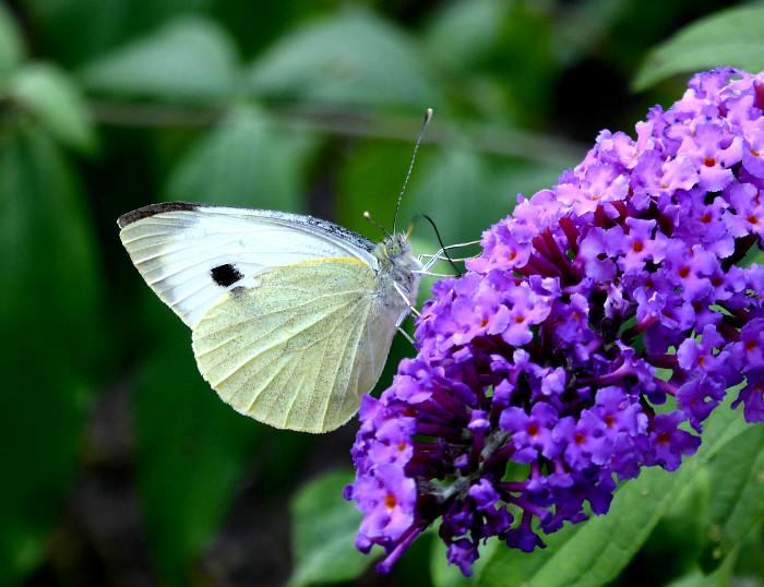 Foto van vlinder op paarse bloem