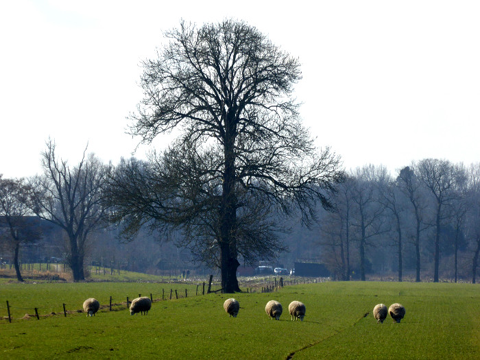 Foto van schapen in weiland met boom