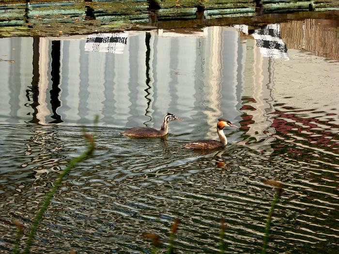 Foto van futen in rimpelig water