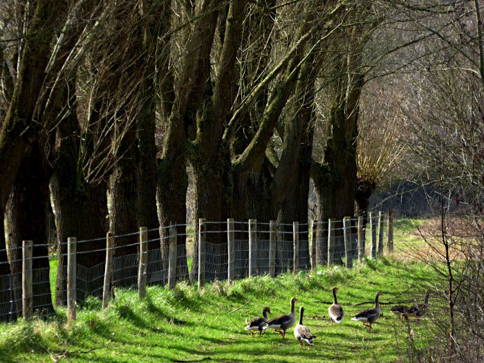 Foto van groep ganzen naast rij bomen