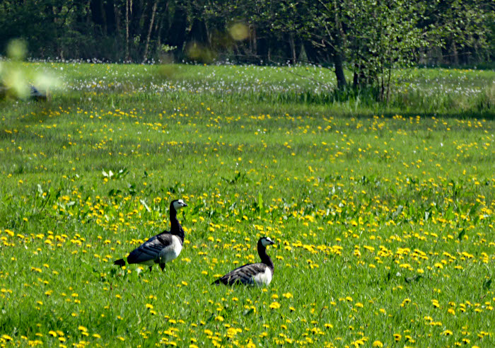 Foto van ganzen in wei met gele bloemen