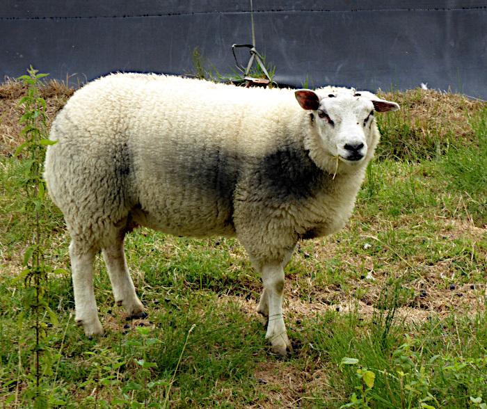 Foto van schaap kijkend naar fotograaf