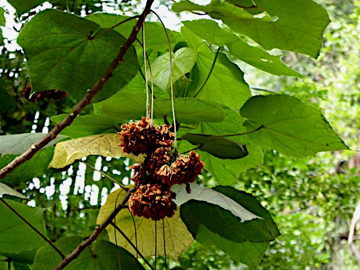 Foto van verdorde hangende bloem onder groene bladeren
