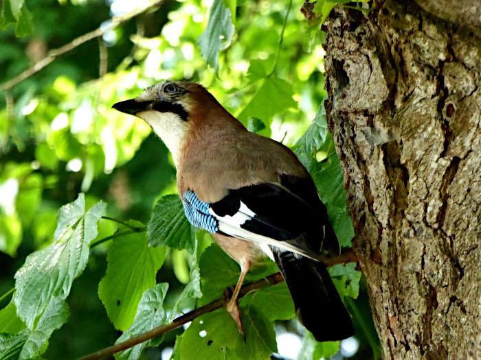 Foto van vlaamse gaai (vogel)