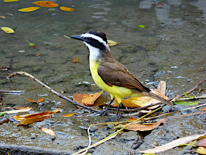Foto van geel-bruine vogel met zwart-witte kop