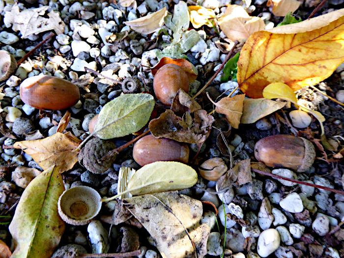 Foto van eikeels en bladeren op grind