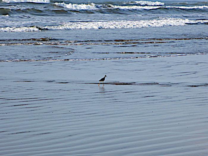 Foto van vogel aan de vloedlijn op strand