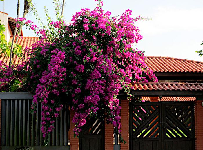 Foto van bougainville bij oranje huis