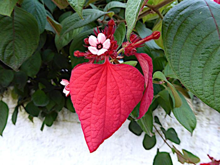 Foto van vuurrood blad en wit bloempje