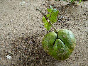 Foto van boomvrucht op grond
