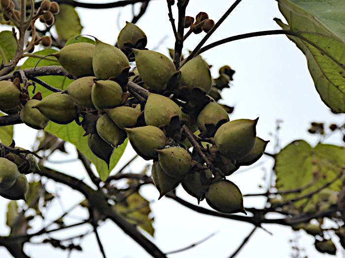 Foto van bruingroene vrucht