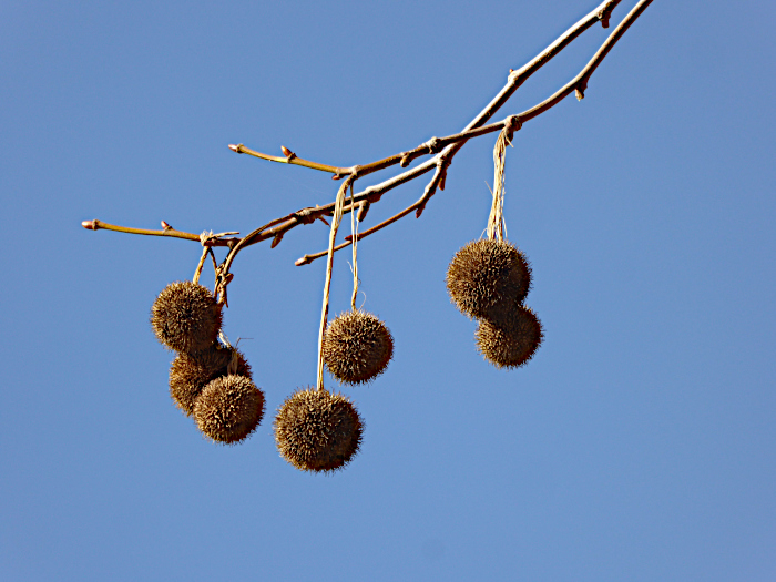 Foto van rond vruchten met stekels