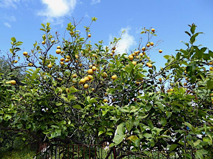Foto van citroenboom