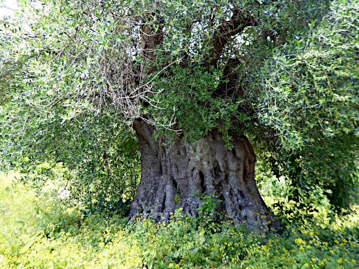 Foto van olijfboom