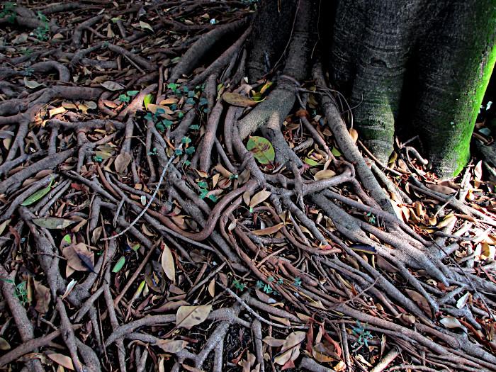 Foto van over de grond lopende boomwortels