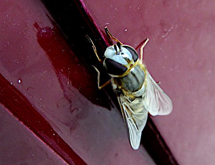 Foto van soort vlieg