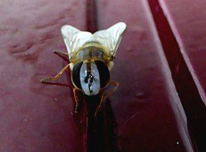 Foto van soort vlieg (en face)