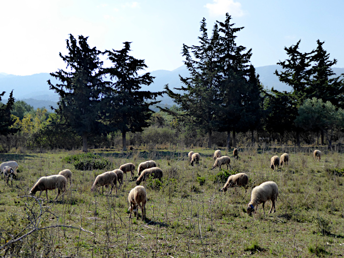 Foto van schapen in wei