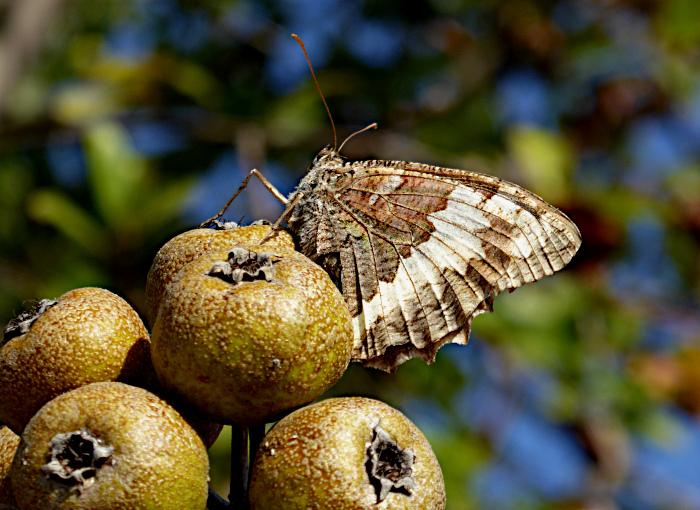 Foto van vlinder op dadels(?)