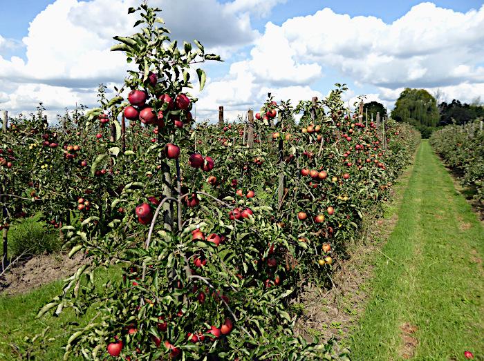 Foto van lage appelbomen