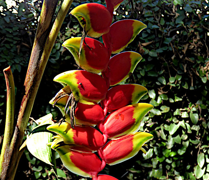 Foto van bloem van de heliconia pendula