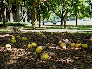 Foto van gevallen vruchten