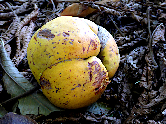 Foto van gevallen vrucht