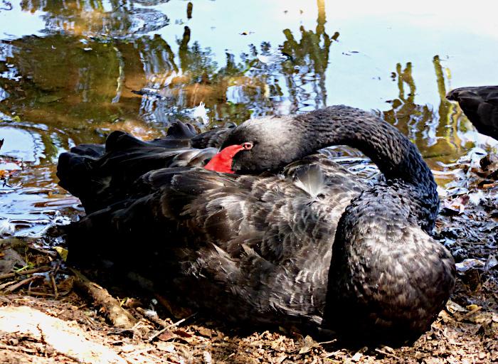 Foto van zwarte zwaan met kop op de rug rustend