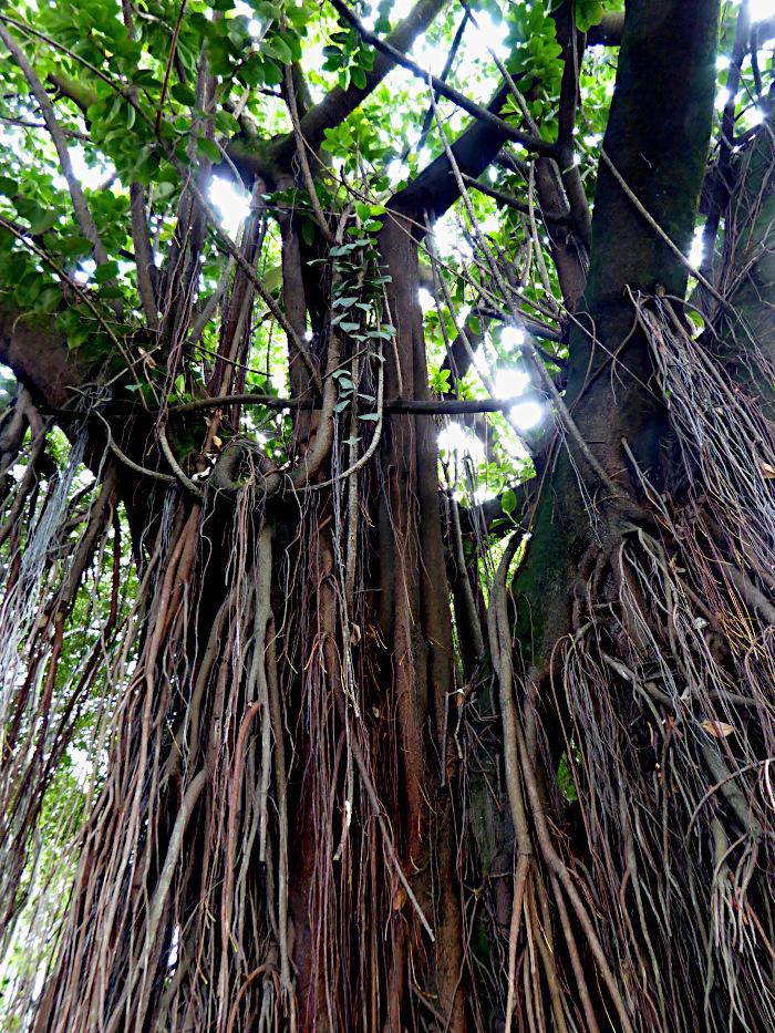 Foro van gordijn van afhangende wortels van boom