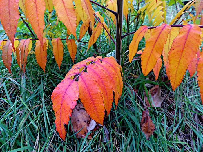 Foto van rood-geel verkleurende bladeren