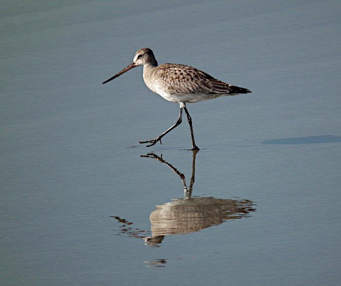 Foto van parmantig stappende vogel met reflectie