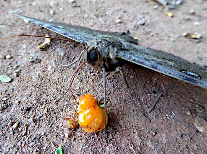 Foto van mot met vruchtje