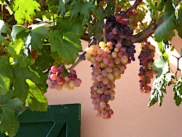 Foto van tros druiven aan rank