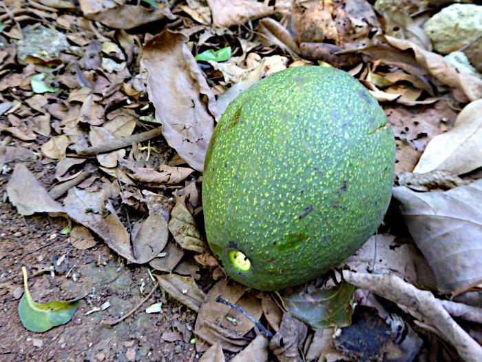 Foto van op de grond gevallen avocado