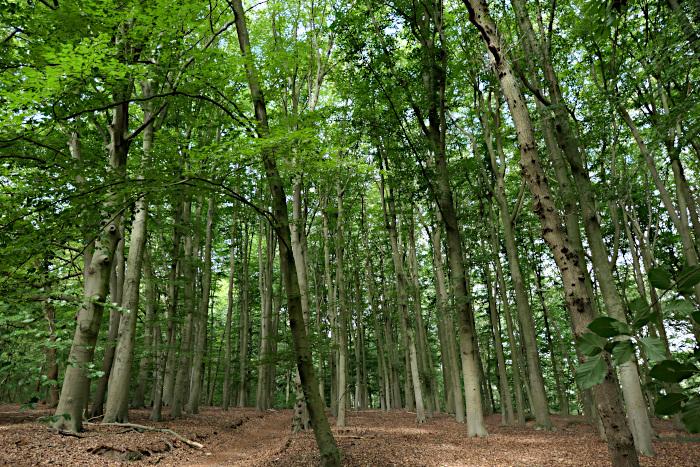 Foto van bos van jonge, dunne bomen