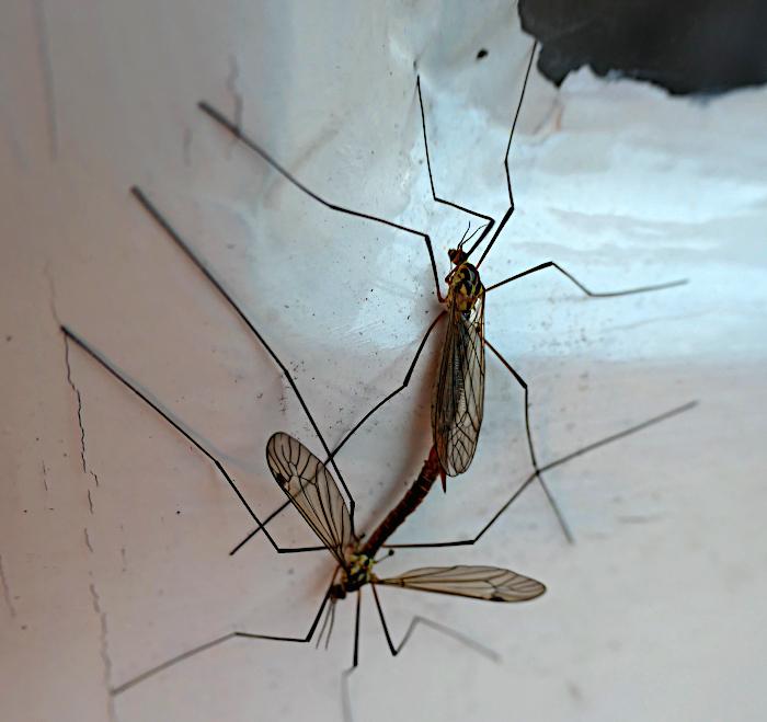Foto van twee langpootmuggen