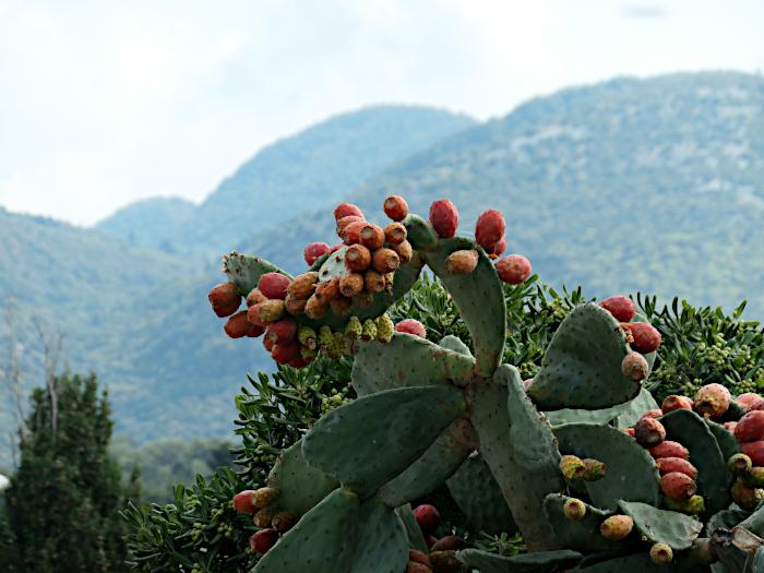 Foto van grote cactus met beregn op de achtergrond