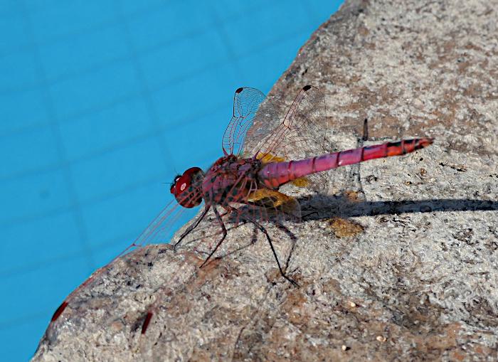 Foto van libelle op rand van zwembad