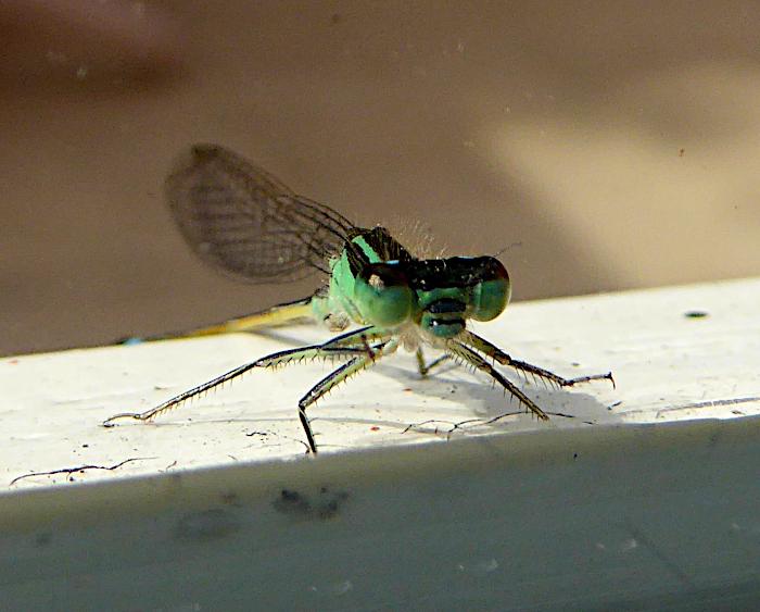 Foto van libelle voor raam