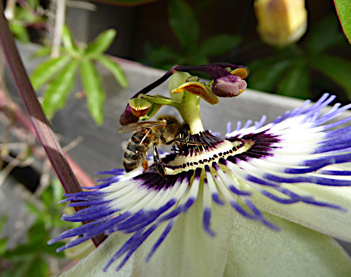 Foto van insect op passiebloem